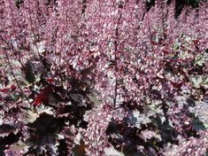 Posts about Heuchera written by carinaragno Pound Shops, Heuchera, Landscape Plans, Outdoor Gardens, Courtyard Gardens, Evergreen, Pink Flowers, Perennials, Palace