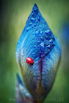 Dew drops and a lady