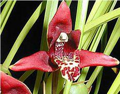 Max. tenuifolia.jpg (320×251)-MAXILLARIA TENUIFOLIA X IDEM Deliciosa fragrancia de coco