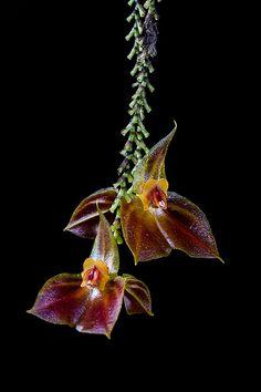Lepanthes sijmii - Flickr - Photo Sharing!