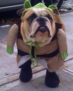 English Bulldog wearing an ogre  costume