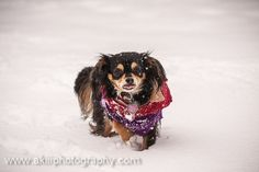 snow chihuahua   Recent Photos The Commons Getty Collection Galleries World Map App ...