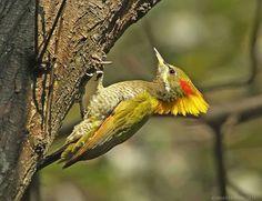 lesser yellow nape woodpecker