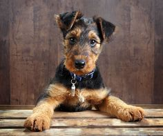 Airedale Terrier, Makes me miss our Joe King.
