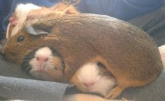 guinea pig and girl