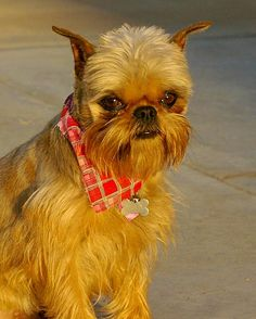 Brussels Griffon , I have two of these beautiful little dogs. They are wonderful