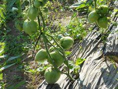 cultura ecologica a tomatelor