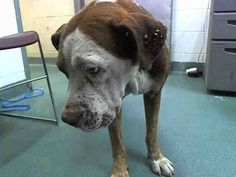 NICK (A1640014) I am a male brown and white American Bulldog. The shelter staff think I am about 5 years old. I was found as a stray and I may be available for adoption on 09/04/2014. — hier: Miami Dade County Animal Services. https://www.facebook.com/urgentdogsofmiami/photos/pb.191859757515102.-2207520000.1409344530./831574803543591/?type=3&theater
