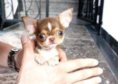 Chocolate Tri Color Micro Teacup Chihuahua
