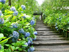The hydrangea are in full bloom at path of weathered Kamakura stones