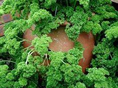 Semis et plantation du persil Plantation, Parsley, Planters, Garden Ideas, Photos, Garden, Herbs, Fruits And Veggies, Green Plants