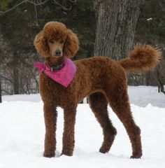 80 Best Red Standard Poodles Images Poodles Doggies Dogs