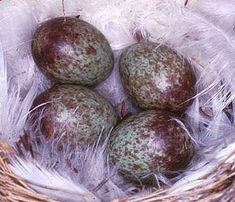 Tree sparrow eggs