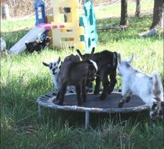 The Ultimate List of Things You Should Know About Goats - The Best Goat Playground Ideas, Tips, Plans and Images Mini Goats, Cute Goats, Baby Goats, Keeping Goats, Raising Goats, Diy Goat Toys, Diy Toys, Chinchilla, Pigmy Goats