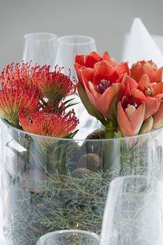 Rote Amaryllis, Tannengrün und Tannenzapfen