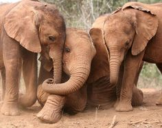 Africa | Best friends: Suguta, Kibo and Nchan like to spend their days playing together and will eventually live as a herd in Tsavo National Park when they grow up | ©David Sheldrick Wildlife Trust