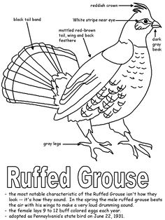 ruffed grouse for Pa history lapbook