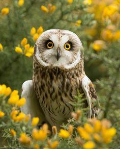 Short-eared owl (Asio flammeus) by steven whitehead on Flickr