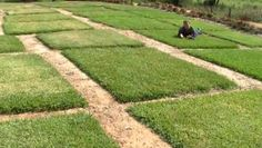 how to get buffalo grass to spread