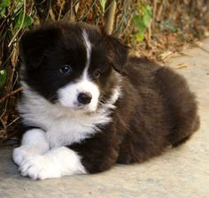 I love Border Collie puppies! Perros Border Collie, Border Collie Puppies, Collie Dog, Border Collies, Cute Puppies, Cute Dogs, Dogs And Puppies, Doggies, Animals And Pets
