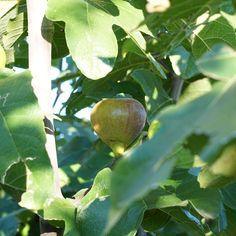 """Sorte Die Feige """"Franz-Joseph"""" ist eine weitgehend unbekannte Sorte, die ursprünglich am Franz-Josephs-Kai am Wiener Donaukanal, zwischen Pflastersteinen herausgewachsen, gefunden wurde. Ihre sehr süßen Früchte sind länglich-birnenunförmig und grünbraun mit hellrotem Fruchtfleisch. Feigen zählen aus botanischer Sicht zur Familie der Maulbeergewächse und finden ihre Heimat ursprünglich im Mittelmeerraum. Sie sind reich an wertvollen Vitaminen und Mineralstoffen und regen mit ihrer Fülle an… Ficus, Kai, Paving Stones, Figs, Plants, Fig, Ficus Tree, Chicken"""