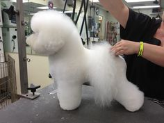 Perfect example of a SHOW CUT. Should be groomed every 4 to 6 weeks. Brushed daily by owner. Groomed by Piña USA Cute Puppies, Cute Dogs, Dogs And Puppies, Bichon Frise, Creative Grooming, Dog Haircuts, Pet Style, The Perfect Dog, Therapy Dogs