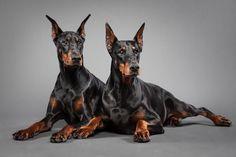 Samira n Siva by Wordup Doberman Pincher Dogs Really Cute Puppies, Cute Dogs, Best Dog Breeds, Best Dogs, Pincher Dog, Doberman Love, Different Dogs, Dog Wallpaper, Animal Books
