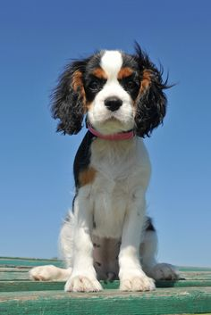 Cavalier King Charles Puppy (This awkward looking growth period is still sooo cute!)