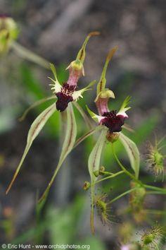 Australia 2009 - Orchids - Arachnorchis species