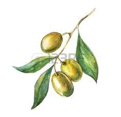 branche feuille olivier: Aquarelle tiré par la main branche d'olivier verte