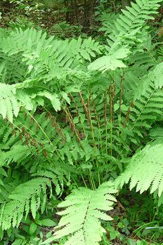 Interrupted Fern (Osmunda claytoniana)a rather beautiful foreign species, of much softer appearance thanO.regalis, and only about two thirds of the size, A good fern for a moist spot. It has its fertile pinna in the middle of the frond, hence the name Interrupted Fern.