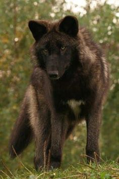 ~In all that we do, let us do it for love..~<3 ~Chris Cotton~   *Thank you from @[235205583229761:274:Howling for Wolves with Native drums]~Melody~<3