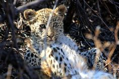 Baby leopard Photo by bjorn persson -- National Geographic Your Shot