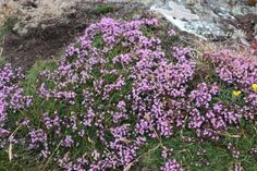 A Wild Thyme was had in Anglesey. Anglesey, Stepping Stones, Flora, Coast, Album, Outdoor Decor, Plants, Home Decor, Stair Risers