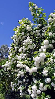 Viburnum opulus Roseum Snowball Tree socalled with good reason thanks to the large, fluffy white blooms that cover this large shrub every spring - AGM award - to Buy at Paramount Plants London garden centre. Garden Shrubs, Flowering Shrubs, Garden Landscaping, Landscaping Ideas, Back Gardens, Outdoor Gardens, Viburnum Opulus Roseum, White Flowers, Beautiful Flowers
