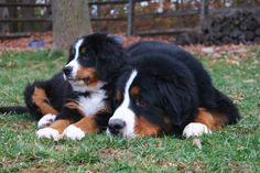 Bernese Mountain Dog. One of my favorite dog breeds!