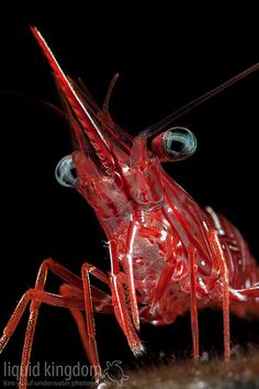 Dancing shrimp-looks like an alien. Underwater Creatures, Underwater Life, Ocean Creatures, Water Animals, Beautiful Fish, Sea And Ocean, Deep Sea, Deep Blue, Sea World