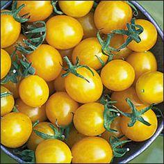 2012 GARDEN-2 PLANTS. NOT VERY SWEET. HIGH YIELD. Tomato, Blondkopfchen OG  Heirloom. 75-80 days
