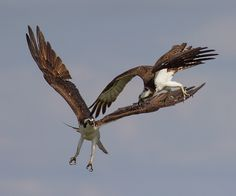 IMG_4331A Osprey conflict