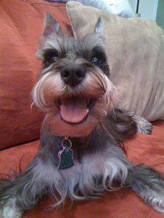 I love the mini Schnauzer smile, such adorable little dogs with such big hearts❤️