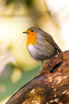European robin Red Robin, Robin Bird, Robin Photos, European Robin, Robin Redbreast, Game Birds, Bird Species, Bird Feathers, Beautiful Birds