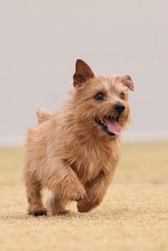 Gorgeous Norfolk Terrier on beach-I think he's smiling