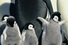 baby penquins