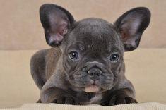 bulldog français | Voir les autres chiots de la race Bouledogue français