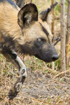 Photo by General Photography by John D. African Hunting Dog, African Wild Dog, Hunting Dogs, Wildlife Photography Tips, Wild Dogs, Hyena, African Animals, Wild Life, Nature Photos