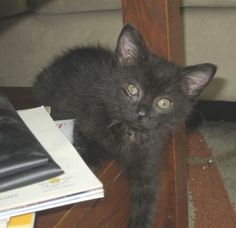 This is 12 wk old Tess.  She is super-friendly and affectionate.  She chases you down for pats and takes good care of her shy sister Emma.  These kitties want to stay together. www.orphankittenrescue.com