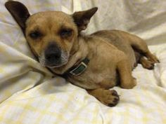 Cassie is an adoptable Chihuahua Dog in Houma, LA. Cassie is a 3-4 year old female chi weenie mix (chihuahua/ dachshund mix). Cassie came in as a stray. She is vaccinated, spayed, microchipped but d...