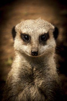 Meerkat by Geraldine Ellis