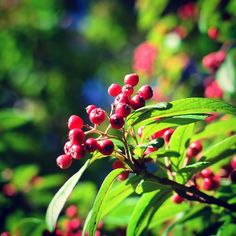 Autumn's in the air here in Whitby - but the warm sun can stay as long as it likes! #autumn #berries #red #green
