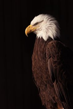 Bald Eagle by Cruzin Canines Photography http://flic.kr/p/DT2TB9